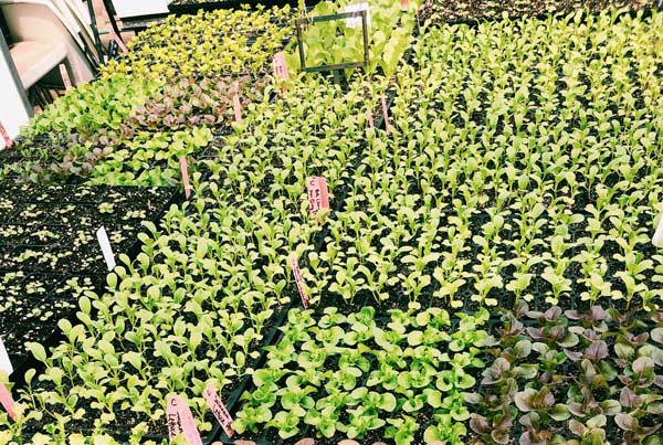 Green and pink plants in soil at Growing Gardens
